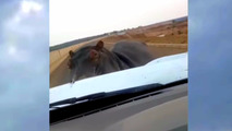 hippo charges Ford Ranger