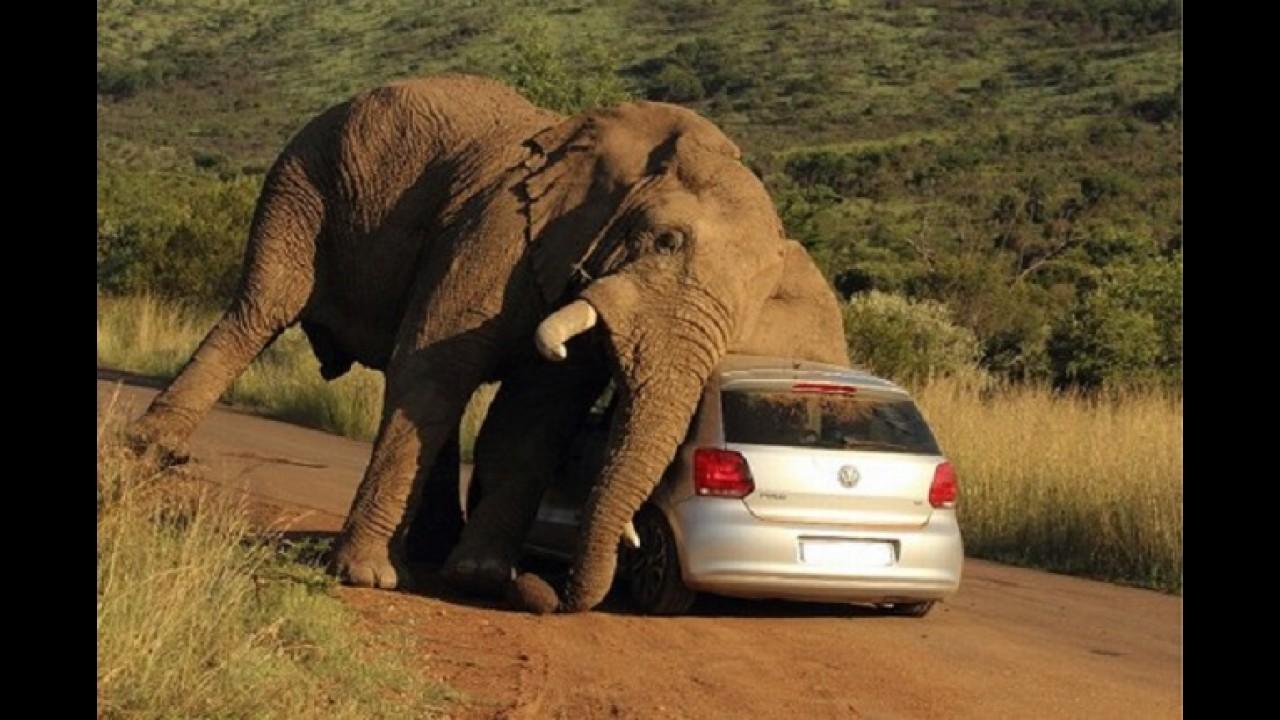 Bizarro: elefante no cio se